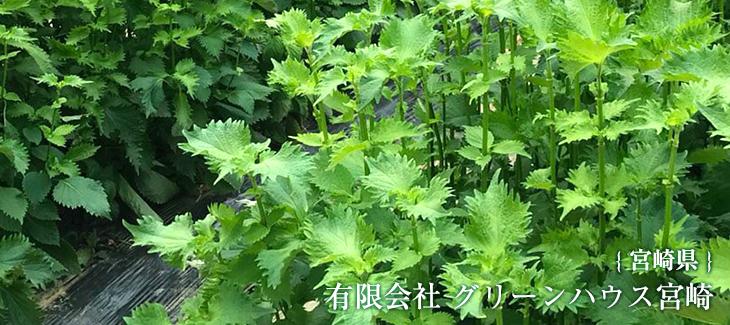 宮崎県にあるグリーンハウス宮崎さんの大葉